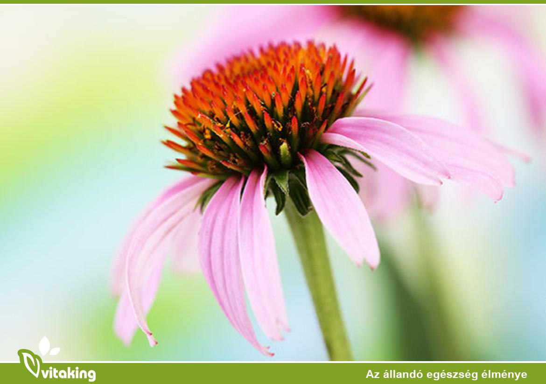 Miért kivételes immunerősítő a kasvirág?