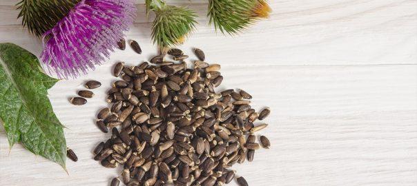 Máriatövis, a májvédő gyógynövény