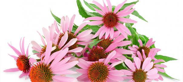 Kasvirág – Miért lett az év gyógynövénye?